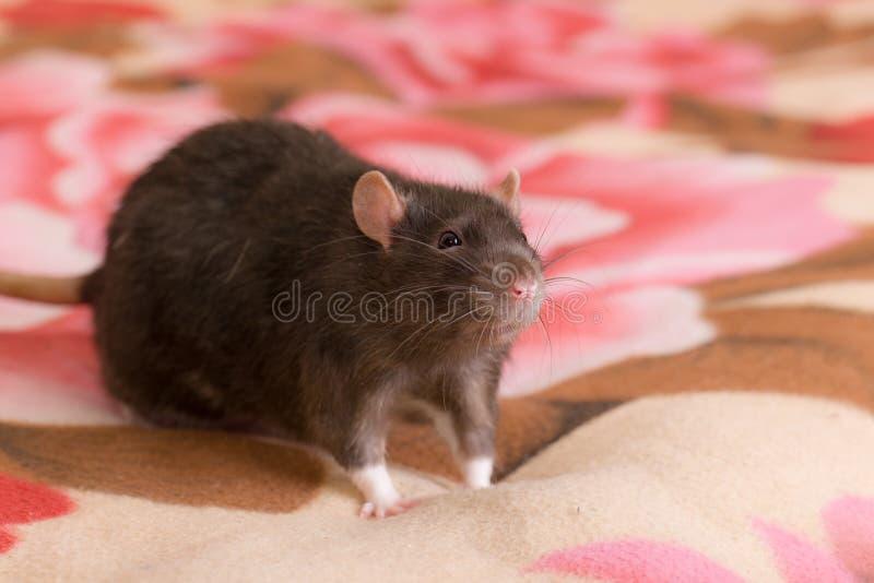 Портрет черной отечественной крысы стоковая фотография