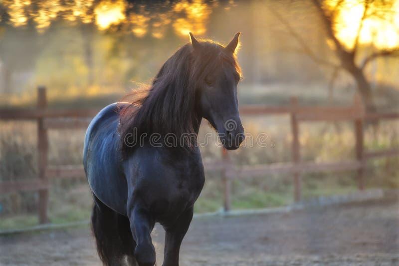 Портрет черной лошади Frisian стоковое фото rf