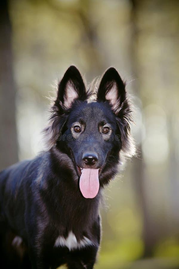 портрет черной собаки стоковое изображение rf