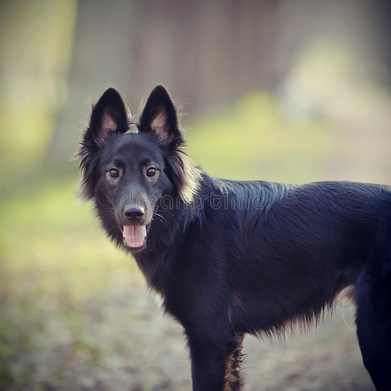 портрет черной собаки стоковая фотография rf