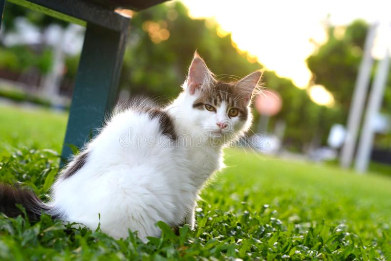 Портрет черно-белого кота интересуя и сидя на деревянном стуле в зеленом саде Гигантский котенок сидя в саде стоковое изображение rf