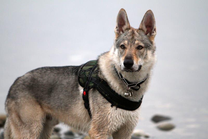 Портрет чехословацкого волка в сезоне зимы стоковые изображения rf