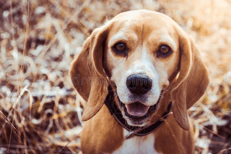 Портрет чистой собаки бигля породы Конец бигля вверх по усмехаться стороны собака счастливая стоковое изображение