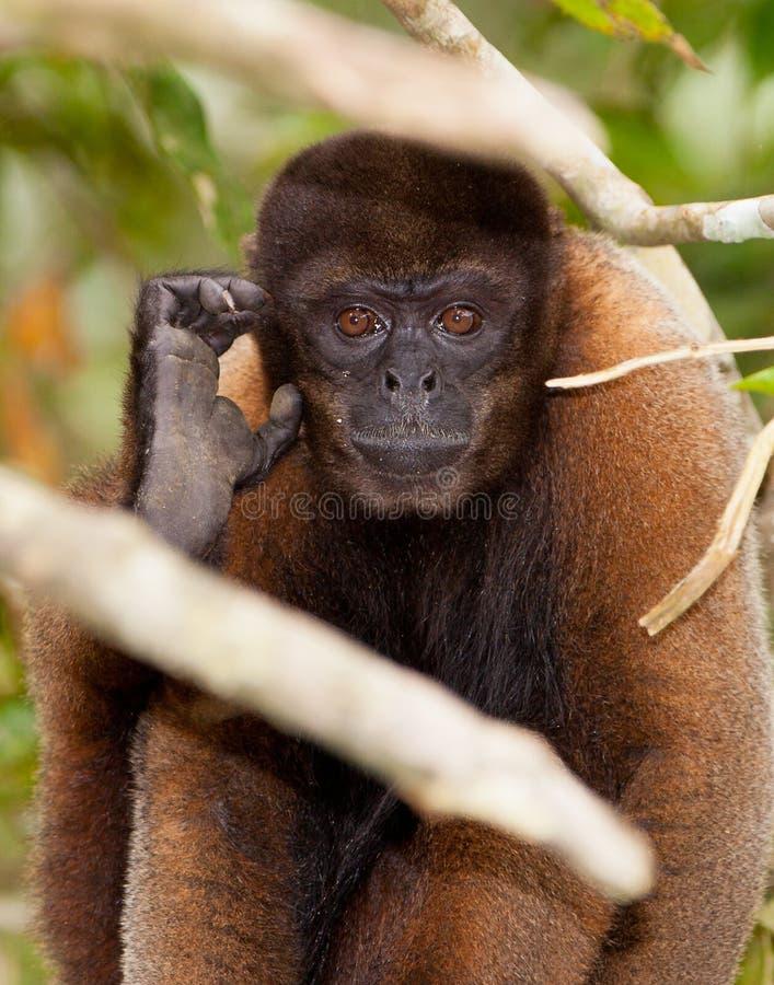 Портрет шерстистой обезьяны Brown стоковые фотографии rf