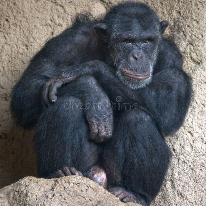 портрет шимпанзеа стоковое изображение rf