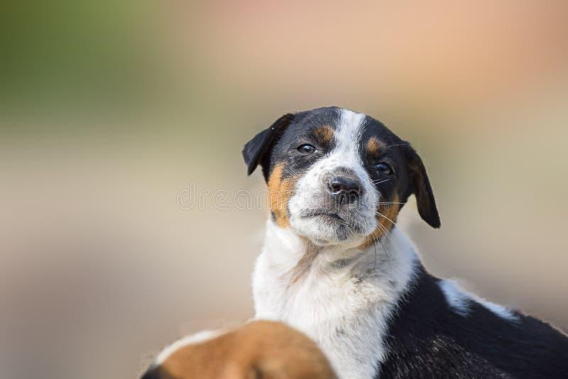 Портрет щенка в эмоциональном режиме Expectational, чувствуя стоковые изображения rf