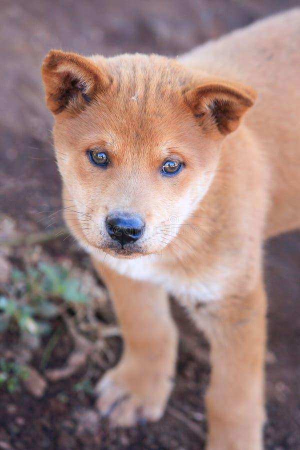 Портрет щенка, дикой собаки полу-породы с местной тайской собакой мило стоковые изображения