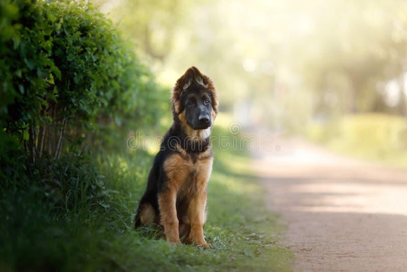 Портрет щенка немецкой овчарки на открытом воздухе стоковые изображения rf