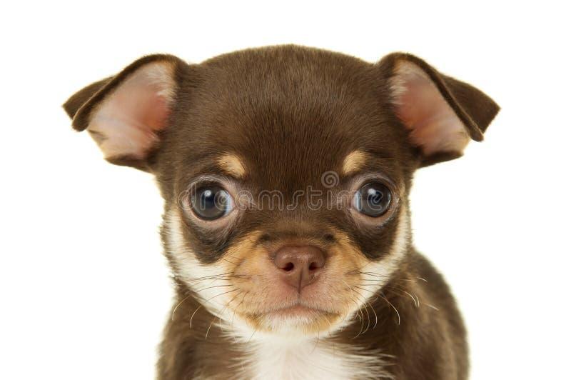 Download Портрет щенка чихуахуа стоковое фото. изображение насчитывающей послушливо - 37930926
