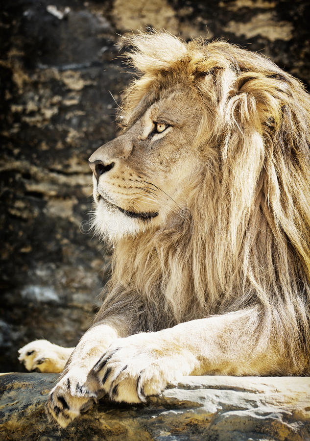 Портрет льва Barbary (пантера leo leo), животная сцена стоковые изображения