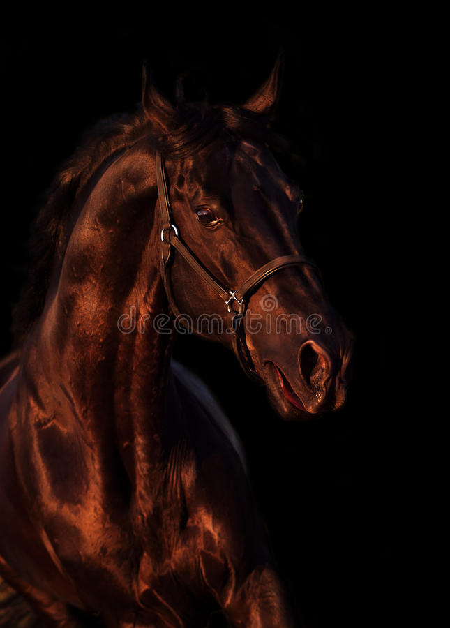 Портрет эмоции красивого черного жеребца породы в поле стоковая фотография rf