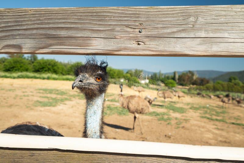 Портрет эму, австралийского страуса, с открытыми глазами стоковое изображение rf