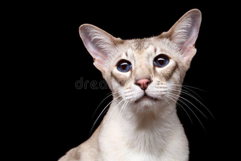 Портрет любопытства кота Peterbald Sphynx смотрит на изолированной черной предпосылке стоковое фото