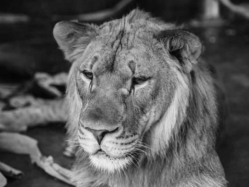 Портрет ювенильного мужского льва стоковая фотография