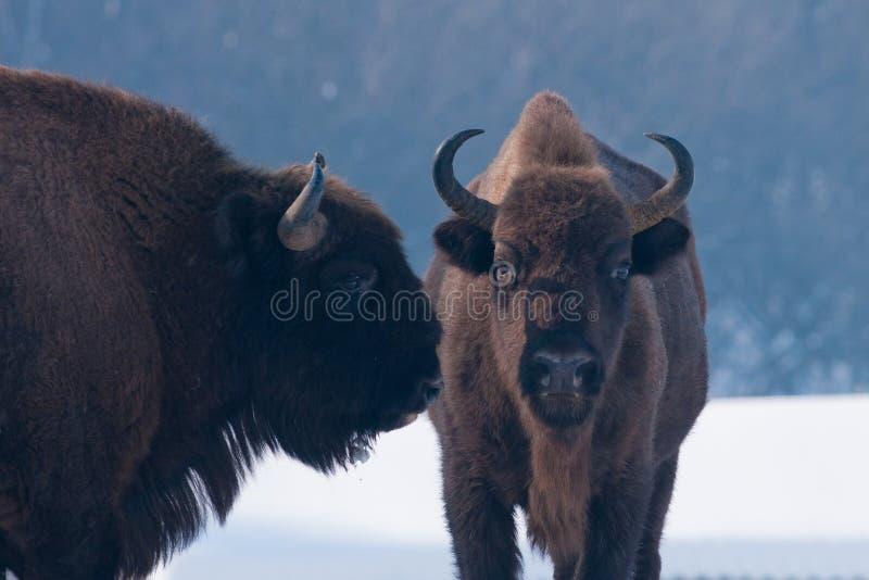 Портрет 2 европейский зубробизонов (bonasus зубробизона) стоковая фотография