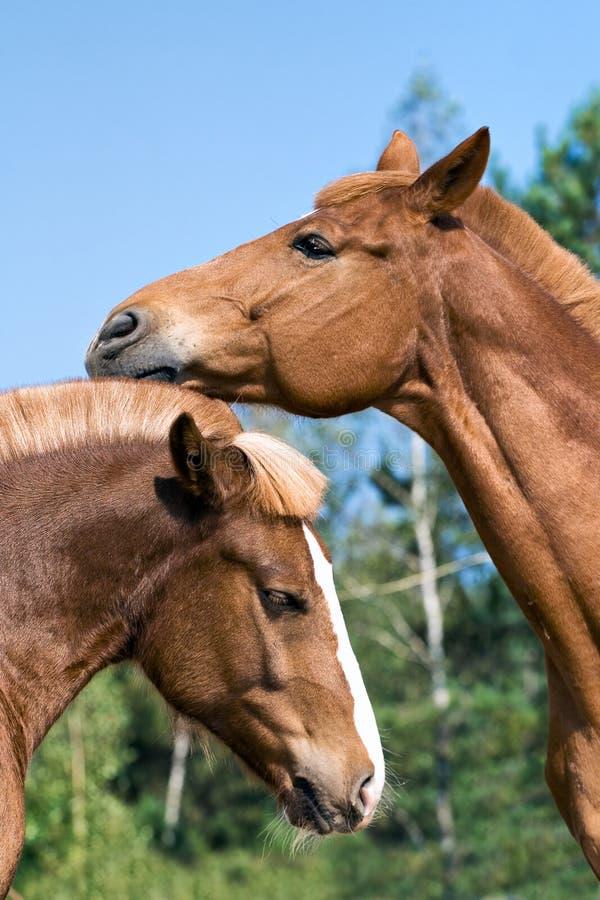 Download портрет 2 лошадей стоковое изображение. изображение насчитывающей bluets - 6866383