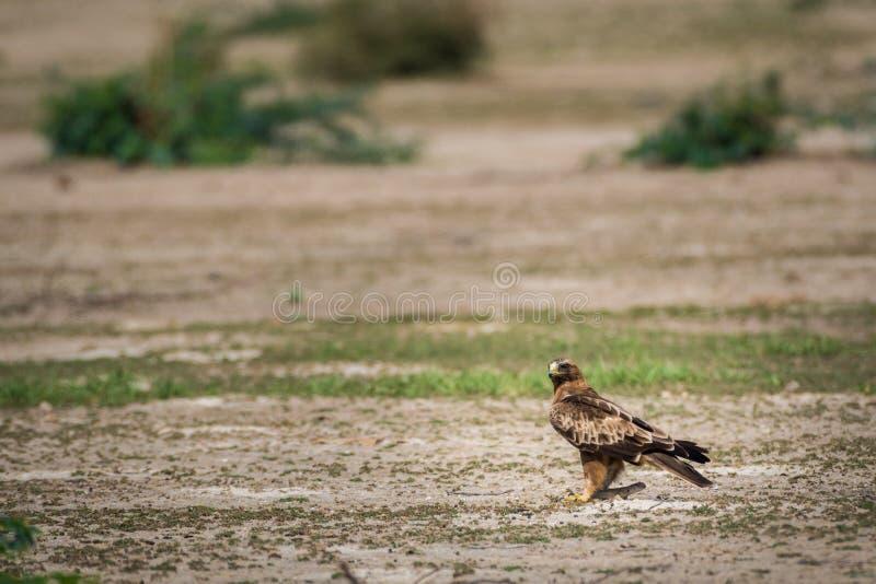 Портрет Booted орел или pennatus Hieraaetus с Колючий-замкнутым убийством ящерицы стоковое фото