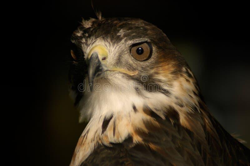 портрет buzzard стоковые изображения rf