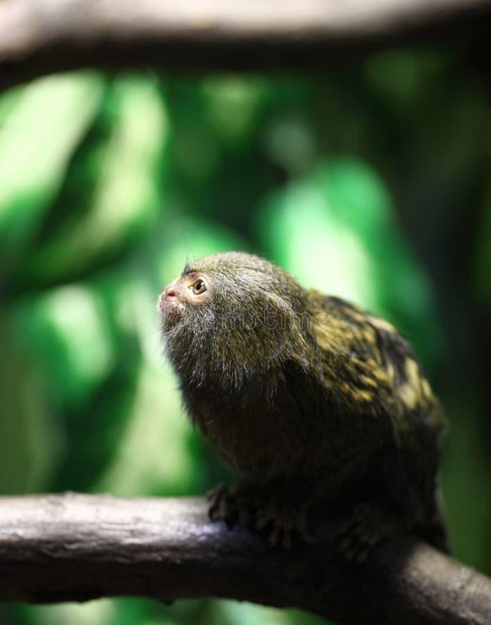 Портрет Close-up marmoset пигмея стоковое изображение