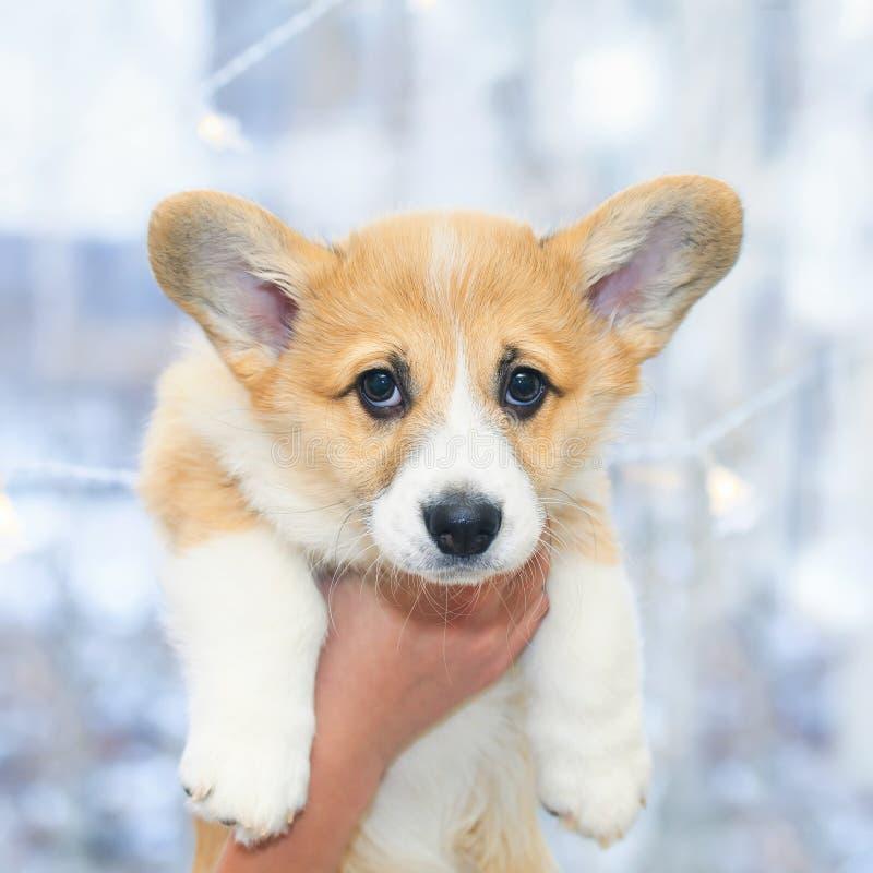 портрет Corgi щенка с устрашенными глазами и большими ушами держа руки стоковые изображения
