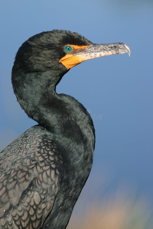 портрет crested cormorant двойной стоковая фотография rf