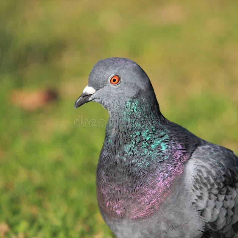 Портрет Dove утеса стоковая фотография rf