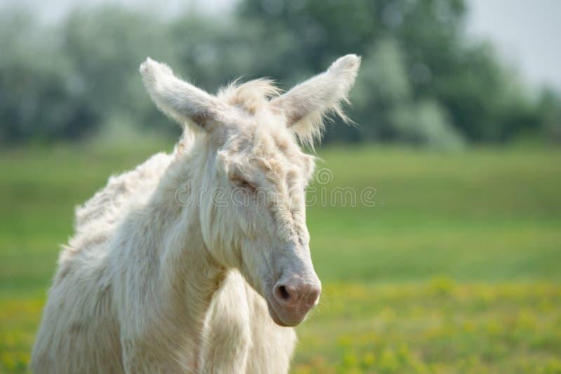 Портрет dozily белого осла стоковые фотографии rf