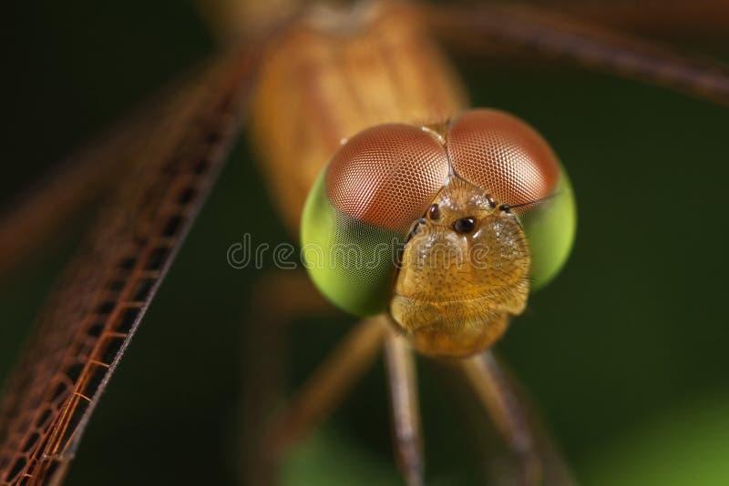 портрет dragonfly стоковое изображение rf