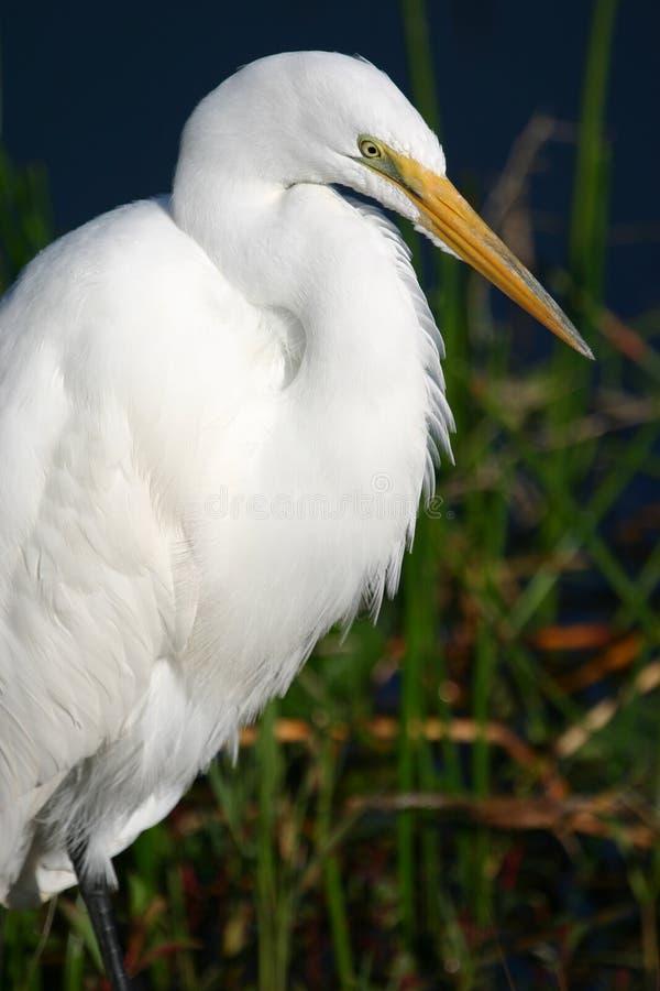 портрет egret большой стоковая фотография rf