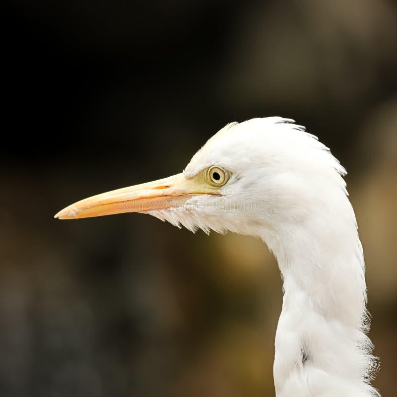 Портрет egret скотин стоковые фотографии rf