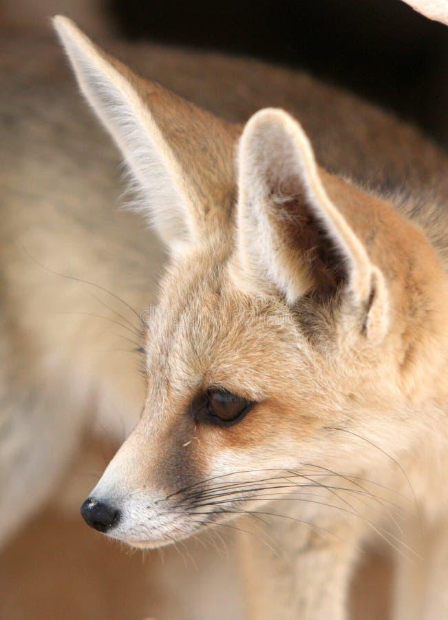 Портрет Fox пустыни стоковая фотография rf