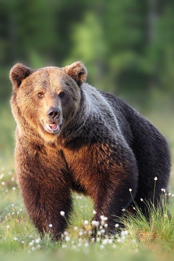 Портрет frontal бурого медведя стоковое изображение rf