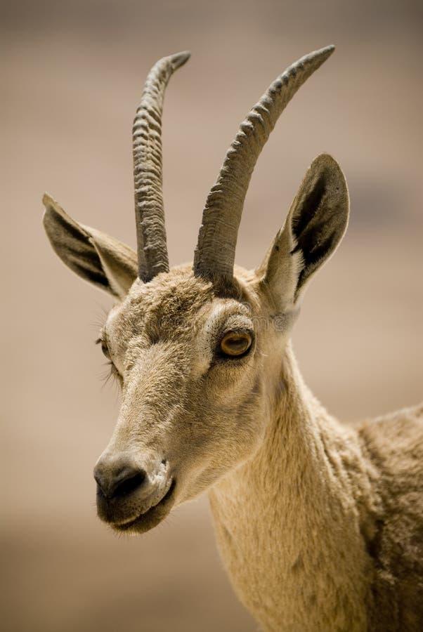 портрет ibex стоковые изображения rf