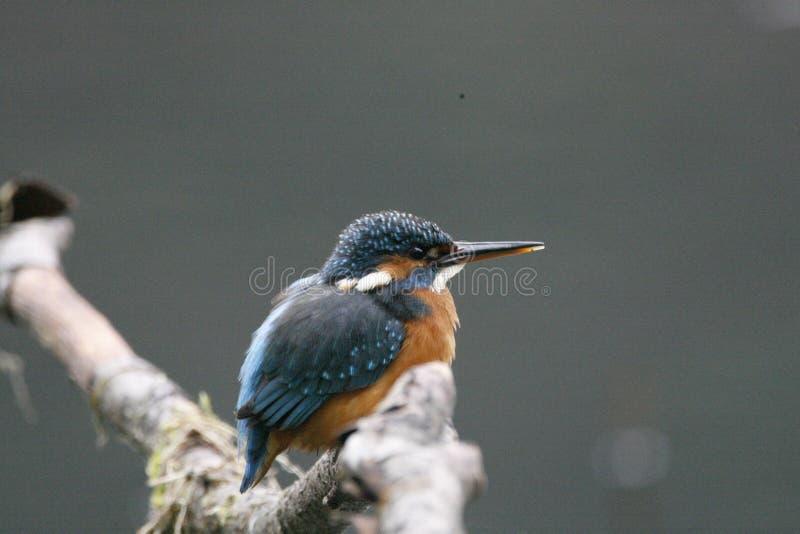 Портрет Kingfisher, конец вверх стоковые фото
