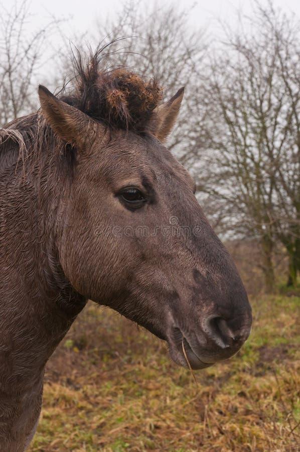 портрет konik лошади стоковые изображения