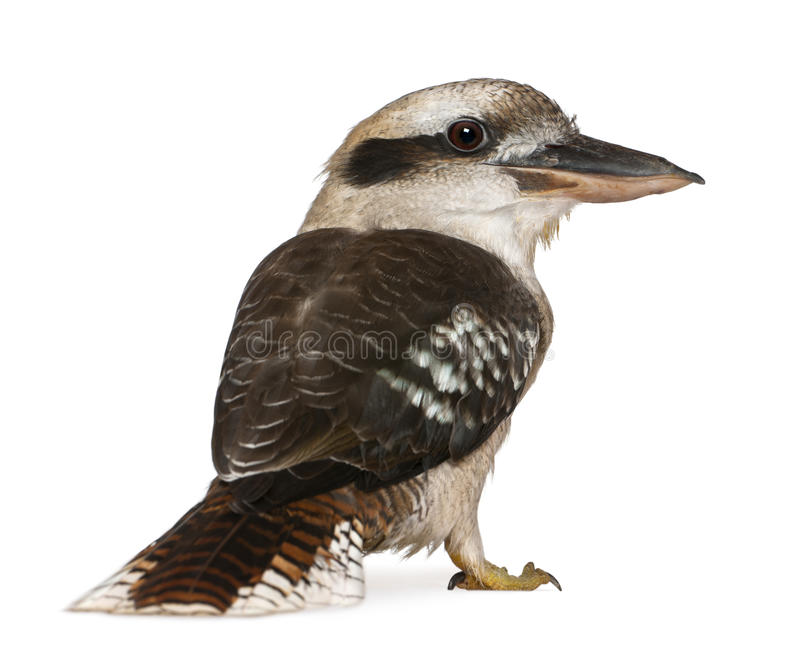 портрет kookaburra смеясь над стоковые фото