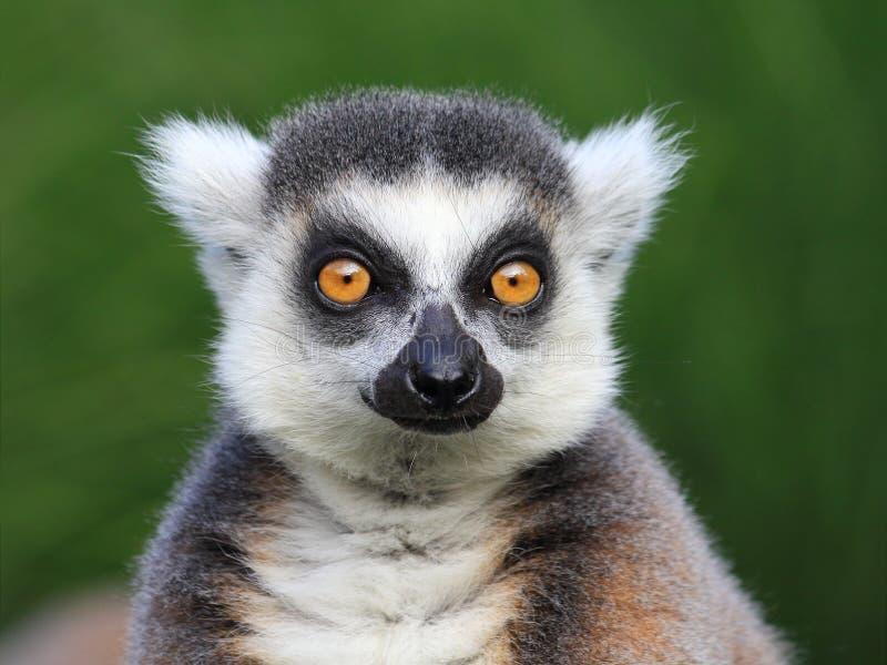 портрет lemur catta близкий вверх стоковая фотография rf