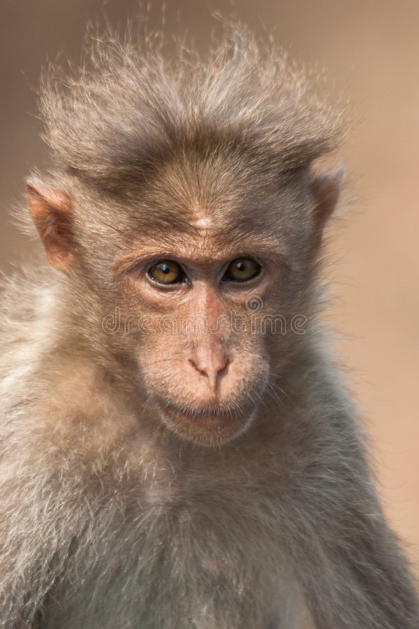 портрет macaque bonnet стоковые изображения rf