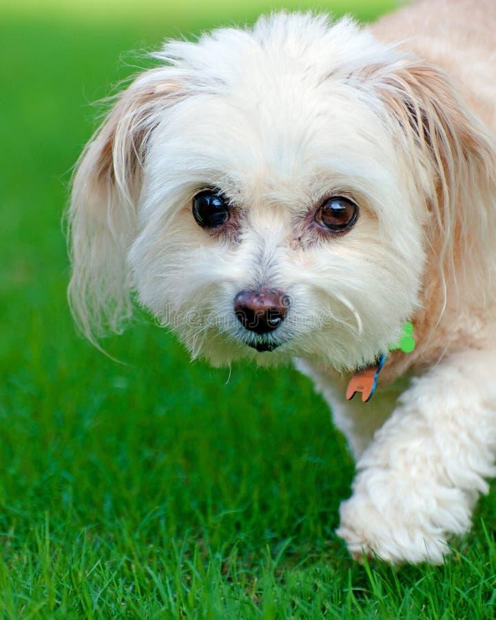 портрет maltipoo собаки стоковое фото