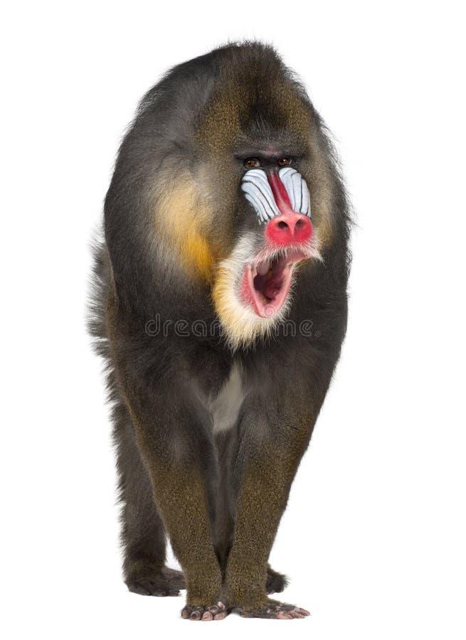 Портрет Mandrill, сфинкс Mandrillus стоковое изображение rf