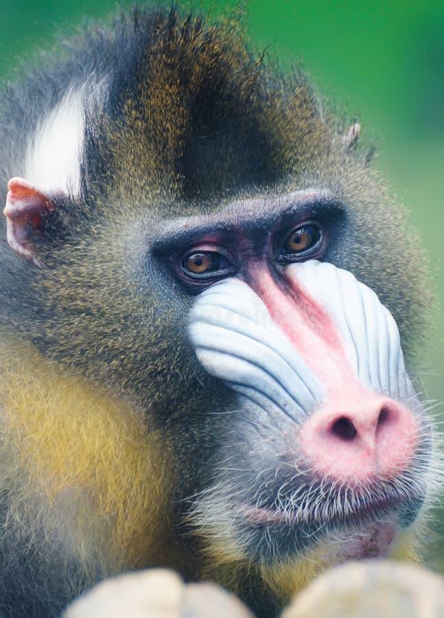 портрет mandrill стоковое изображение