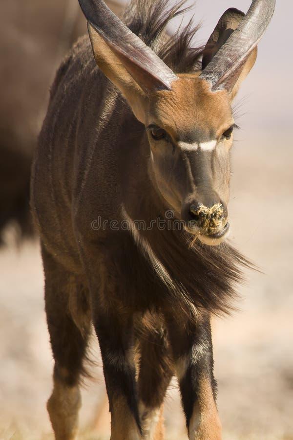 портрет nyala антилопы стоковые фото