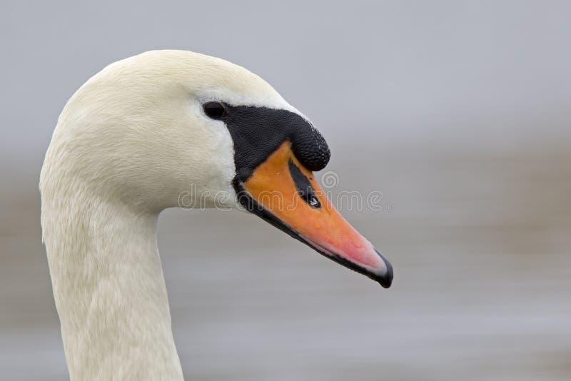 Портрет olor Cygnus безмолвного лебедя которое питьевая вода стоковые изображения