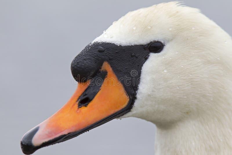 Портрет olor Cygnus безмолвного лебедя которое питьевая вода стоковое изображение rf