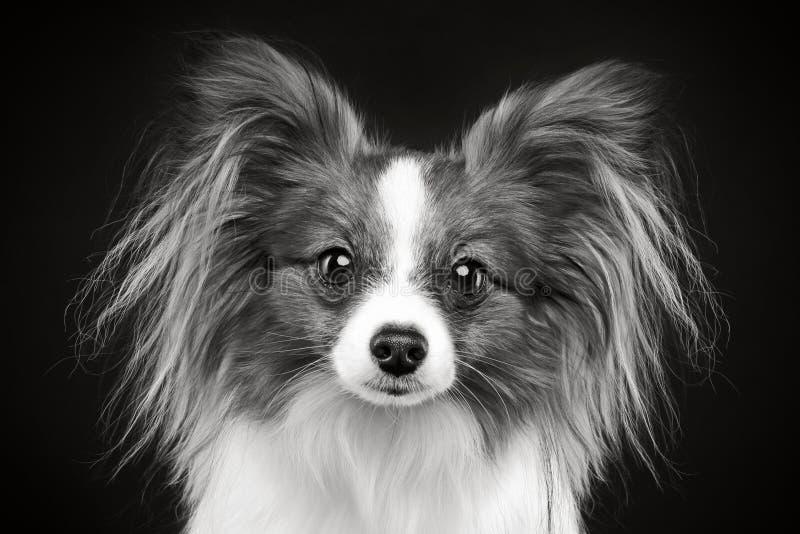 портрет papillon собаки стоковое изображение rf
