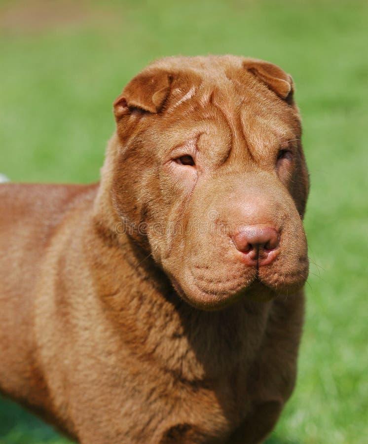 портрет pei собаки shar стоковые изображения