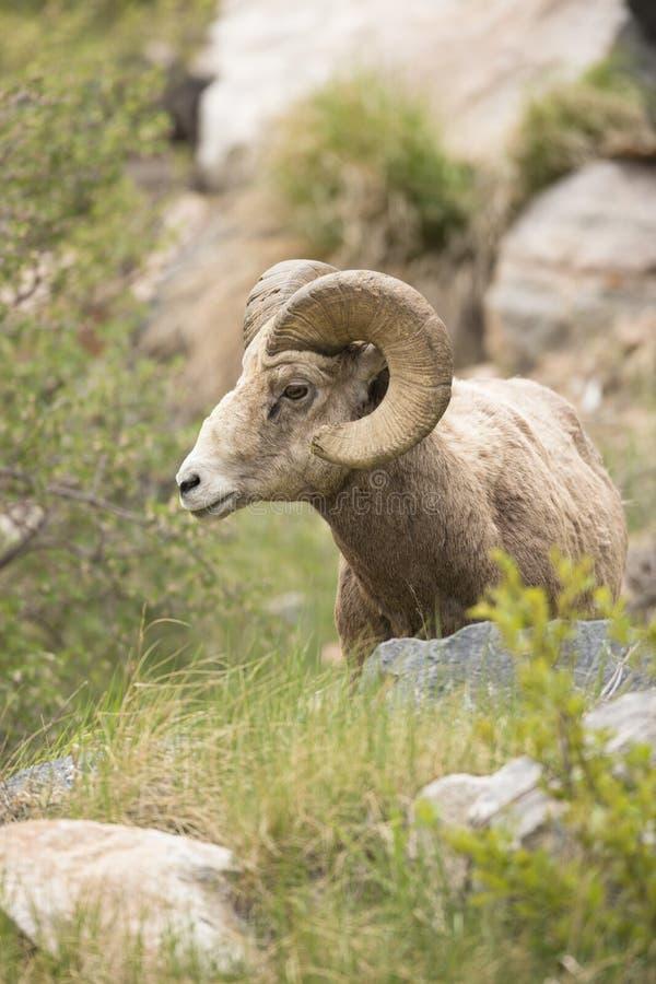 Портрет Ram Bighorn стоковое фото