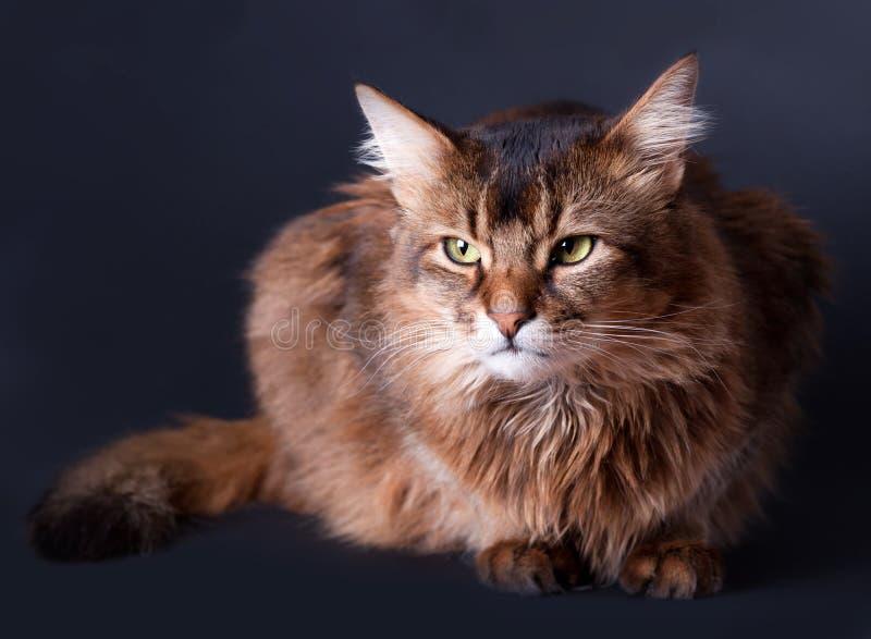 Download портрет Rudy кота сомалийский Стоковое Фото - изображение насчитывающей меховой, темно: 18378744