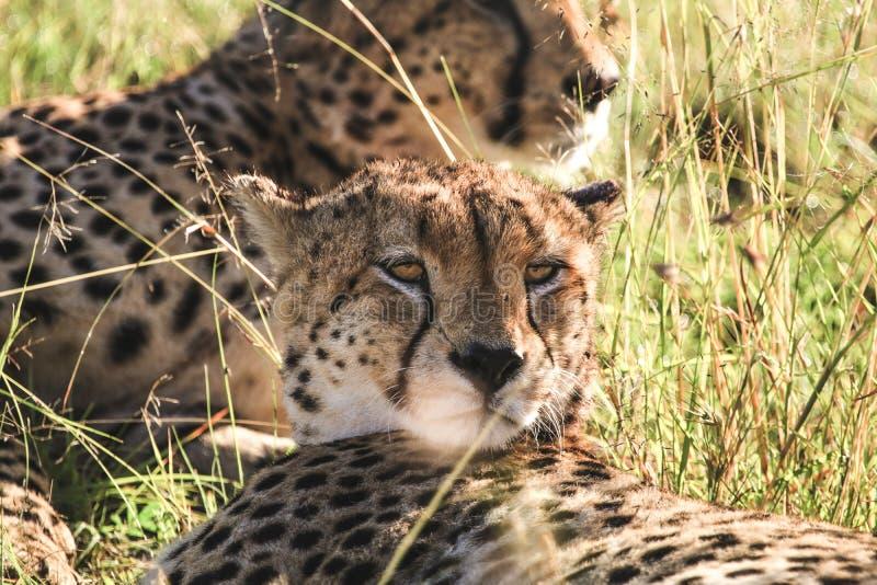 Портрет ` s гепарда стоковые изображения