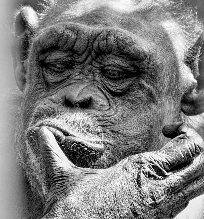 Портрет  s обезьяны Ì стоковые фотографии rf